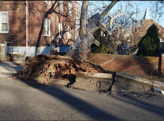 Tree felled by wind