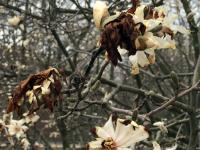 Damaged Magnolia